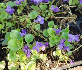 Viola odorata 'Königin Charlotte' Duftveilchen - Bild vergrößern