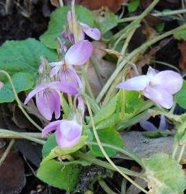 Duftveilchen, Viola odorata  'Orchid Pink' - Bild vergrößern