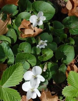 Viola sororia 'Albiflora', Pfingstveilchen - Bild vergrößern