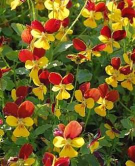 Viola cornuta 'Jackanapes' Hornveilchen - Bild vergrößern