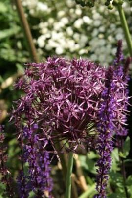Allium christophii, Zierlauch, Sternkugellauch - Bild vergrößern