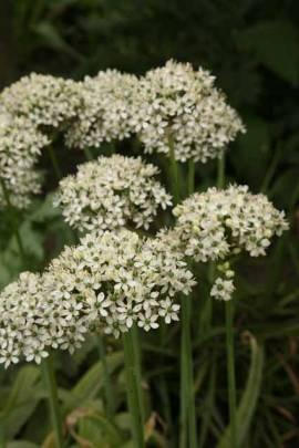 Allium multibulbosum, Zierlauch - Bild vergrößern