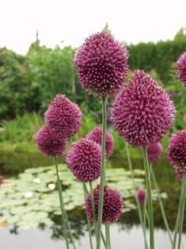 Allium spaerocephalum, Zierlauch - Bild vergrößern