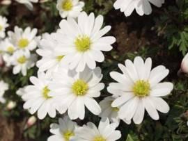 Anemone blanda 'Mischung', Berganemone - Bild vergrößern
