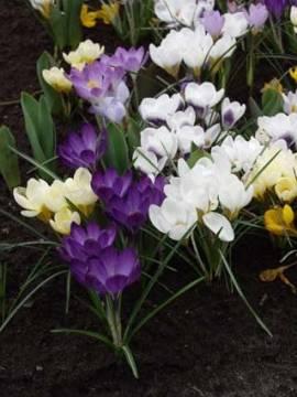 Crocus tommasinianus 'Whitewell Purple', Elfenkrokus, 20 Zwiebeln - Bild vergrößern