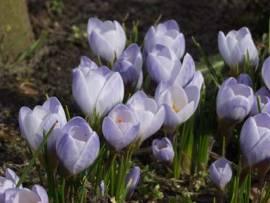 Crocus chrysanthus 'Blue Pearl', Krokus - Bild vergrößern