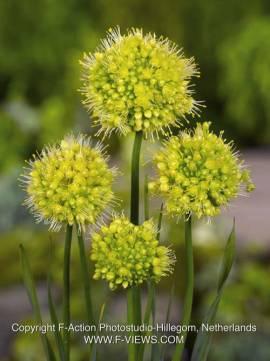 Allium obliquum, scharfer Gelblauch - Bild vergrößern