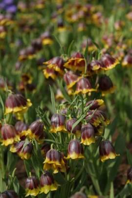 Fritillaria michailovskyi, türkische Schachbrettblume - Bild vergrößern