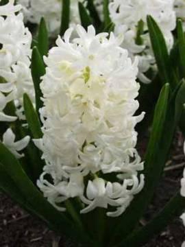Hyazinthen 'Carnegie' weiß - Bild vergrößern