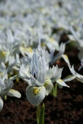 Iris reticulata 'Katharine Hodgkin', Netzblattiris, Zwergiris, 10 Zwiebeln - Bild vergrößern