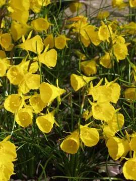 Narcissus bulbocodium  'Golden Bells', Reifrocknarzisse,  10 Zwiebeln - Bild vergrößern