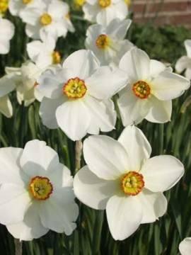 Narcissus actaea (poeticus) Narzissen, 8 Zwiebeln - Bild vergrößern