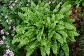 Phyllitis scolopendrium 'Crispa' Hirschzungenfarn gekräuselte Blätter - Bild vergrößern