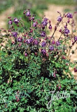 Semiaquilegia ecalcarata, Scheinakelei - Bild vergrößern