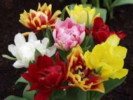 Tulpen 'Mischung', gefüllte frühe Tulpen - Bild vergrößern