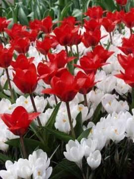 Botanische Kaufmanniana Tulpen 'Show Winner' - Bild vergrößern