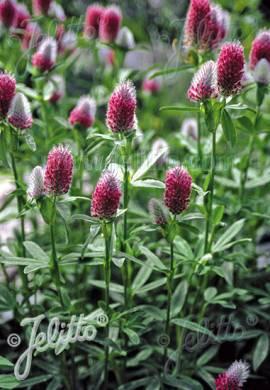 Trifolium rubens 'Red Feathers', Purpur Klee - Bild vergrößern