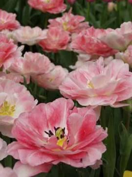 Gefüllte späte Tulpen 'Angelique', 25 Stk. - Bild vergrößern