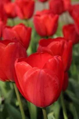 Darwin Hybriden Tulpen 'Apeldoorn' 11/12, 25 Stk - Bild vergrößern