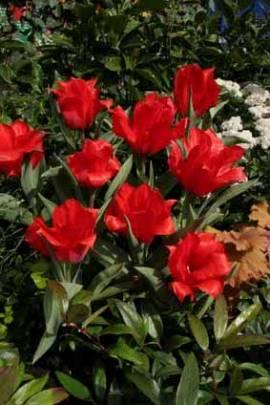 Botanische Greigii Tulpen 'Julius Ceasar' - Bild vergrößern