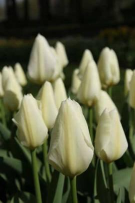 Botanische Fosteriana Tulpen 'Purissma' (weißer Kaiser) - Bild vergrößern