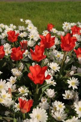 Botanische Greigii Tulpen 'Rotkäppchen', 25 Zwiebeln - Bild vergrößern