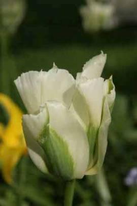 Viridiflora Tulpen 'Spring Green' - Bild vergrößern