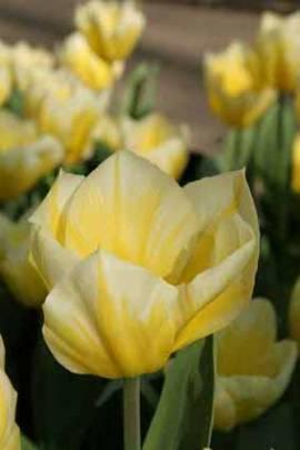 Botanische Fosteriana Tulpen 'Sweetheart' - Bild vergrößern