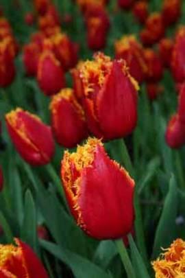 Crispa Tulpen 'Fabio' - Bild vergrößern