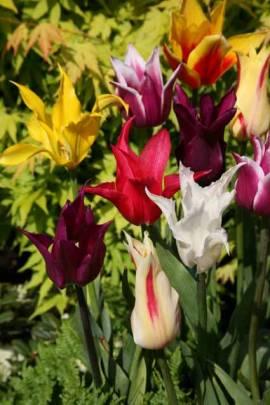 Lilienblütige Tulpen 'West Point' - Bild vergrößern