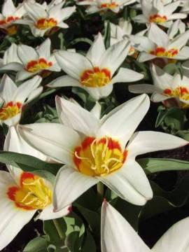 Botanische Fosteriana Tulpen 'Analita' - Bild vergrößern