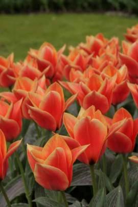Botanische Greigii Tulpen 'Calypso' - Bild vergrößern