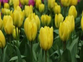 Botanische Fosteriana Tulpen 'Candela' - Bild vergrößern