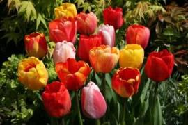 Darwin Hybriden Tulpen 'Apeldoorn' 12/+ - Bild vergrößern