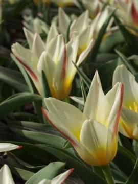 Botanische Kaufmanniana Tulpen 'Johann Strauß' - Bild vergrößern