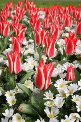 Botanische Greigii Tulpen 'Pinocchio', 25 Stück - Bild vergrößern