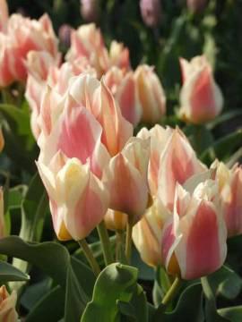 Botanische Greigii Tulpen 'Quebec' - Bild vergrößern