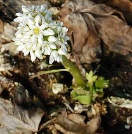 Aceriphyllum rossii (Mukdenia), Ahornblatt - Bild vergrößern