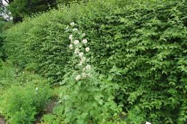 Alcalthaea suffrutescens 'Parkallee' Malve, Stockrose - Bild vergrößern