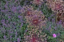 Zierlauch, Allium christophii - Bild vergrößern