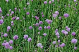Allium schoenoprasum, Schnittlauch - Bild vergrößern