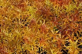 Amsonia tabernaemontana, Amsonie - Bild vergrößern