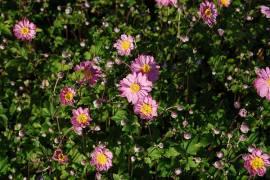 Anemone Japonica Hybr. 'Pamina' Herbstanemone - Bild vergrößern