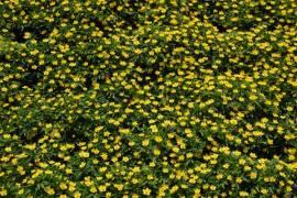 Anemone ranunculoides, Gelbes Buschwindröschen - Bild vergrößern