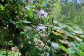Anemonopsis macrophylla, Scheinanemone - Bild vergrößern