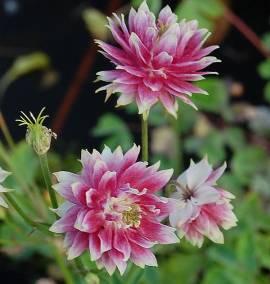 Aquilegia Vulgaris-Hybriden 'Nora Barlow', Garten-Akelei, gefüllt - Bild vergrößern