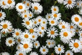 Alpenaster, weiß, Aster alpinus 'Weiße Schöne' (Albus)' - Bild vergrößern