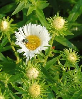 Raublattaster, Aster novae-angliae 'Herbstschnee' - Bild vergrößern