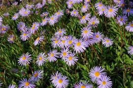 Aster tongolensis 'Napsbury' Frühlingsaster - Bild vergrößern