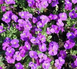 Aubrieta Hybride 'Kitty' Blaukissen, violettblau, großblumig - Bild vergrößern